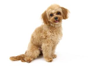 エムドッグス,動物プロダクション,ペットモデル,ペットタレント,モデル犬,タレント犬,MIX犬,るぅく