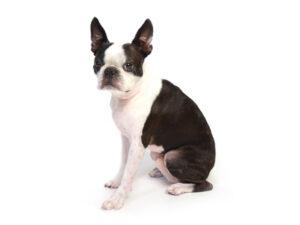 エムドッグス,動物プロダクション,ペットモデル,ペットタレント,モデル犬,タレント犬,ボストンテリア,百汰,ももた