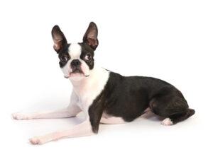 エムドッグス,動物プロダクション,ペットモデル,ペットタレント,モデル犬,タレント犬,ボストンテリア,千夢,ちむ