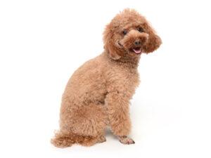 エムドッグス,動物プロダクション,ペットモデル,ペットタレント,モデル犬,タレント犬,トイプードル,ナラ
