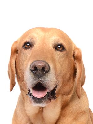 エムドッグス,動物プロダクション,ペットモデル,ペットタレント,モデル犬,タレント犬,ラブラドールレトリーバー,ぽてと