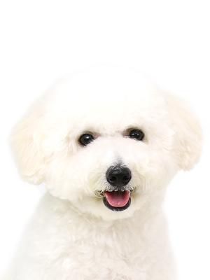 エムドッグス,動物プロダクション,ペットモデル,ペットタレント,モデル犬,タレント犬,ビションフリーゼ,ミルク