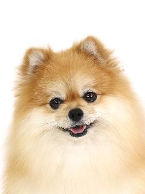 エムドッグス,動物プロダクション,ペットモデル,ペットタレント,モデル犬,タレント犬,ポメラニアン,こむぎ