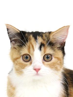 エムドッグス,動物プロダクション,ペットモデル,ペットタレント,モデル猫,タレント猫,スコティッシュフォールド,まろん