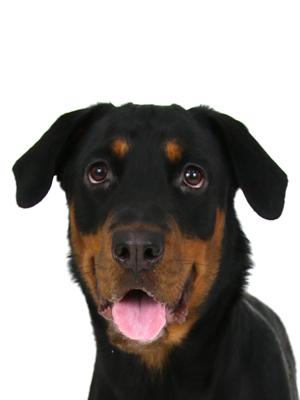エムドッグス,動物プロダクション,ペットモデル,ペットタレント,モデル犬,タレント犬,ロットワイラー,紅蘭,べら