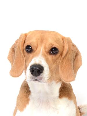 エムドッグス,動物プロダクション,ペットモデル,ペットタレント,モデル犬,タレント犬,ビーグル,海,うみ