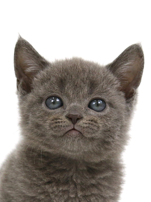 エムドッグス,動物プロダクション,ペットモデル,ペットタレント,モデル猫,タレント猫,ボンベイ,子猫