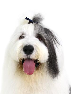 エムドッグス,動物プロダクション,ペットモデル,ペットタレント,モデル犬,タレント犬,オールドイングリッシュシープドッグ,Petro,ペトロ
