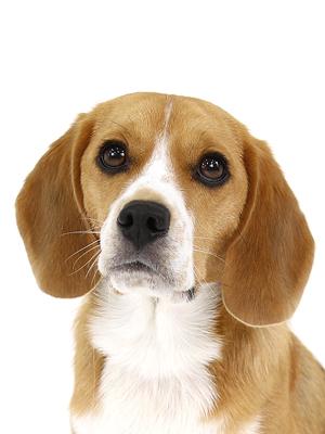 エムドッグス,動物プロダクション,ペットモデル,ペットタレント,モデル犬,タレント犬,ビーグル,ひふみ