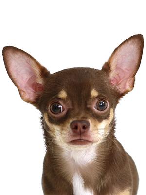 エムドッグス,動物プロダクション,ペットモデル,ペットタレント,モデル犬,タレント犬,チワワ,Claire,クレア
