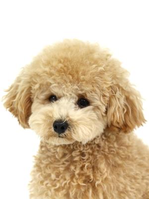 エムドッグス,動物プロダクション,ペットモデル,ペットタレント,モデル犬,タレント犬,トイプードル,famle,ファムル