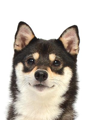 エムドッグス,動物プロダクション,ペットモデル,ペットタレント,モデル犬,タレント犬,柴犬,桜音,おと