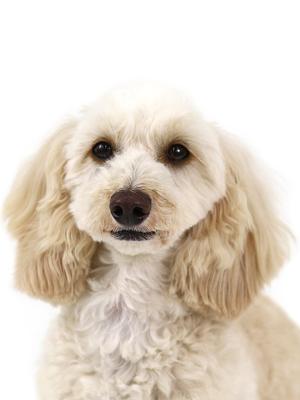 エムドッグス,動物プロダクション,ペットモデル,ペットタレント,モデル犬,タレント犬,MIX犬,もか