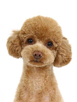 エムドッグス,動物プロダクション,ペットモデル,ペットタレント,モデル犬,タレント犬,トイプードル,うに