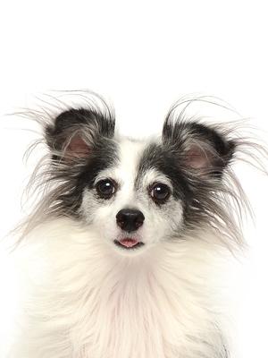 エムドッグス,動物プロダクション,ペットモデル,ペットタレント,モデル犬,タレント犬,MIX犬,マロ