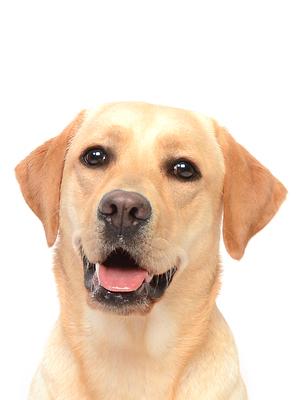 エムドッグス,動物プロダクション,ペットモデル,ペットタレント,モデル犬,タレント犬,ラブラドールレトリーバー,杏菜,あんな
