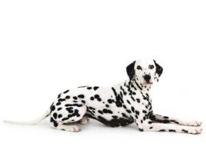 エムドッグス,動物プロダクション,ペットモデル,ペットタレント,モデル犬,タレント犬,ダルメシアン,りょう