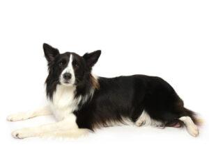 エムドッグス,動物プロダクション,ペットモデル,ペットタレント,モデル犬,タレント犬,ボーダーコリー,カイル