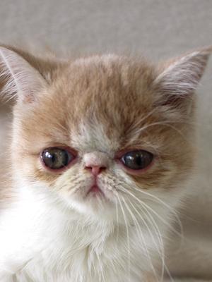 エムドッグス,動物プロダクション,ペットモデル,ペットタレント,モデル猫,タレント猫,エキゾチック,子猫