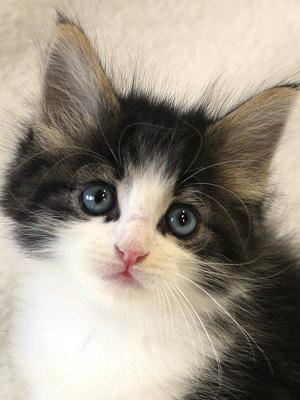 エムドッグス,動物プロダクション,ペットモデル,ペットタレント,モデル猫,タレント猫,ノルウェージャンフォレストキャット,子猫